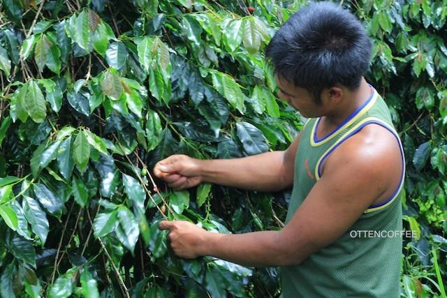 pohon kopi gayo
