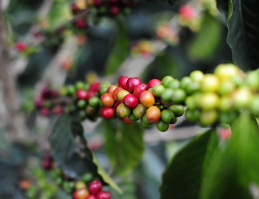jenis-jenis kopi Amerika Latin