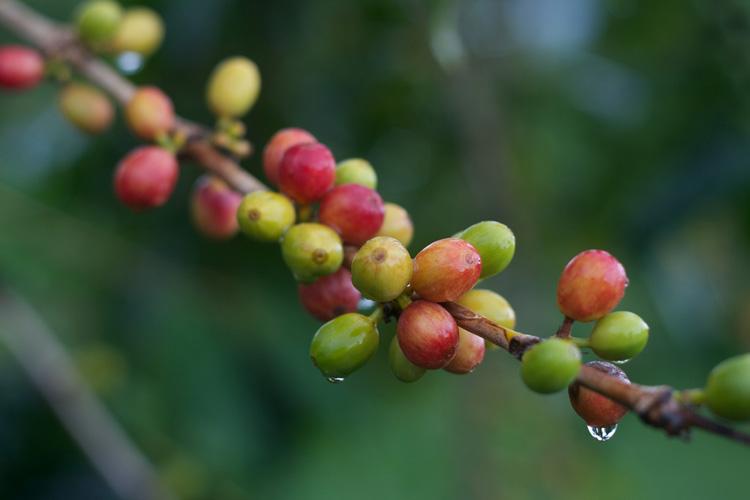 Cherry kopi dari Amerika Selatan umumnya memiliki karakteristik yang tak kalah menggiurkan.