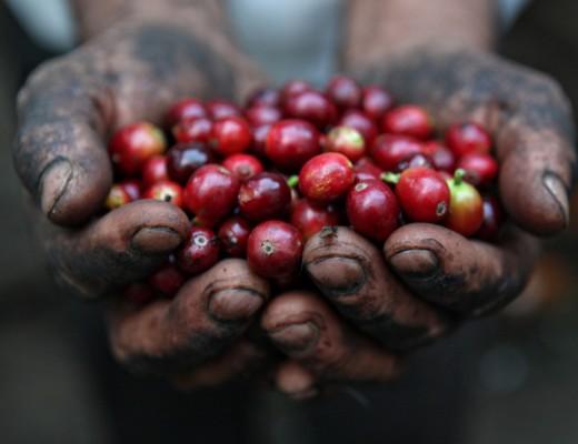 proses-pengolahan-biji-kopi