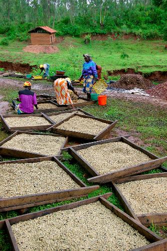 Tempat-tempat pengolahan biji kopi di Rwanda