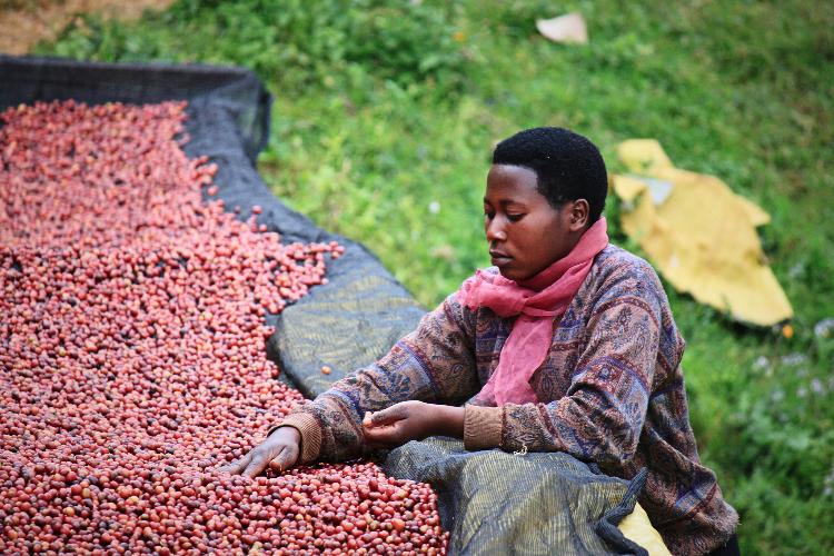 Biji yang dipetik hanya yang benar-benar telah matang dan berwarna merah saja, itulah sebabnya kenapa kopi-kopi dari negara ini berasa dahsyat. :p