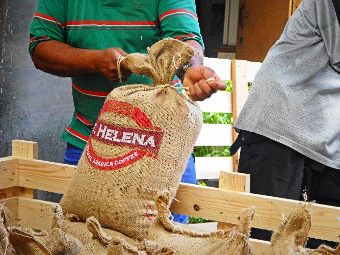 Green bean St. Helena siap didistribusikan.