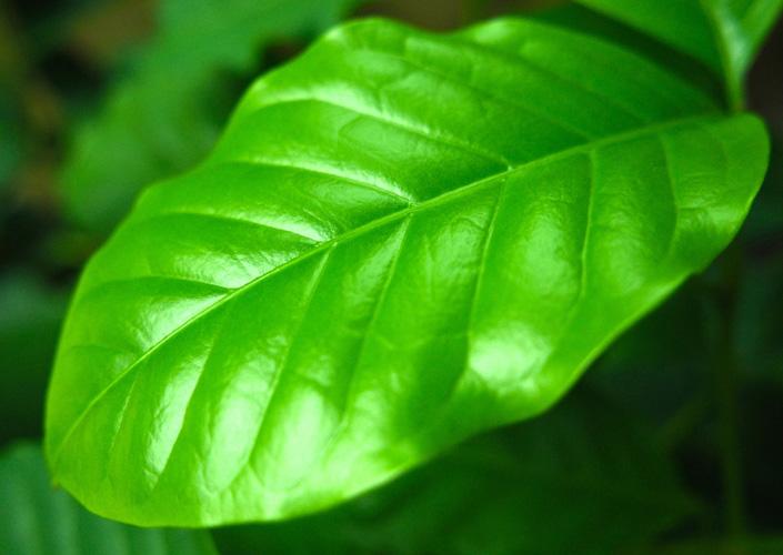 Daun tumbuhan kopi