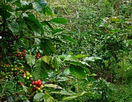 kopi di bawah naungan pohon