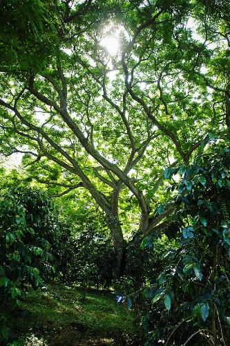 Pohon-pohon rindang membuat suhu di sekitar tumbuhan kopi menjadi lebih adem.