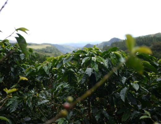 pohon-kopi