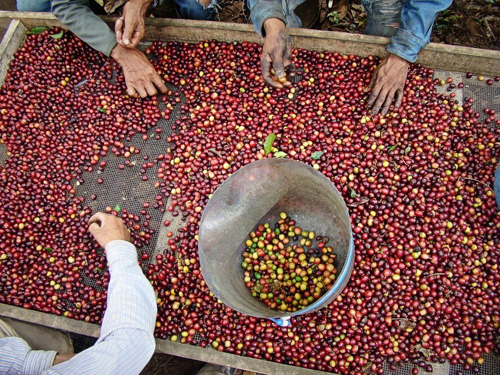 bagaimana-musim-hujan-bisa-merusak-tanaman-kopi