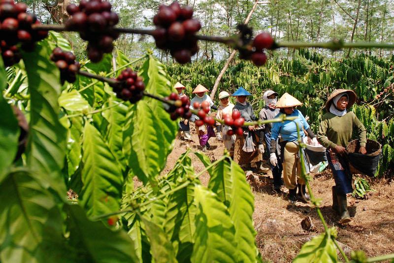 Sejumlah pekerja berjalan usai memanen kopi robusta (Coffea robusta L) di kebun milik PT Perkebunan Nusantara (PTPN) IX, Asinan, Bawen, Semarang, Jawa Tengah, Sabtu (1/8). PTPN IX memprediksi produksi kopi kebun tersebut pada 2015 menurun dibandingkan produksi 2014 dari 444 ton kopi kering menjadi 362 ton karena curah hujan tinggi pada saat masa pembungaan sehingga berpengaruh tidak maksimalnya proses penyerbukan. Antara Foto/Aditya Pradana Putra/foc/15.