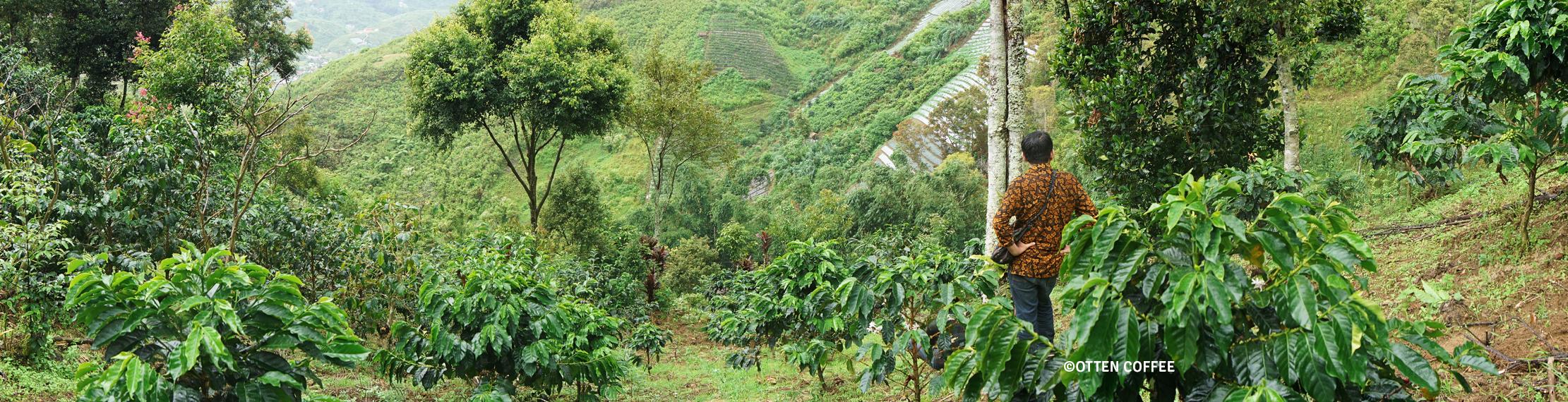 Panorama kebun kopi di Koto Baru. (Bukan, bukan. Itu bukan Menteri Pertanian).