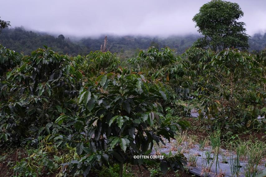Kebun kopi di Aka Gadang.