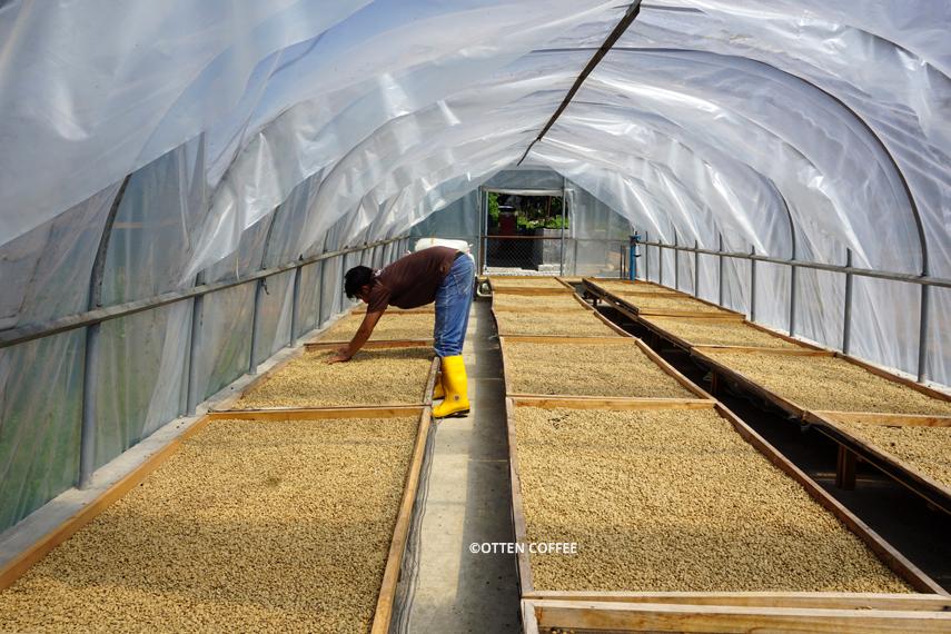Biji-biji kopi yang dijemur harus dibolak-balik secara berkala, agar keringnya merata.